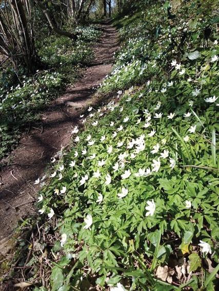 Stowey Wood Anemones Stowey Green Spaces